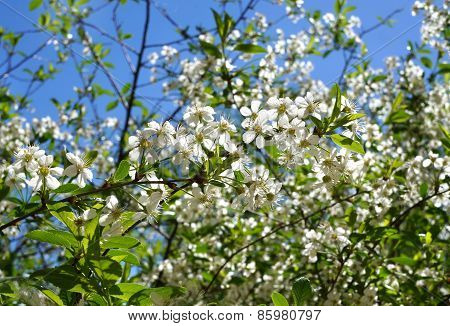 Blossoming Spring Cherry Tree