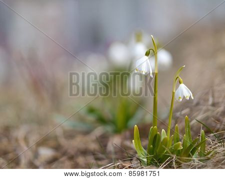Snowdrops in nature