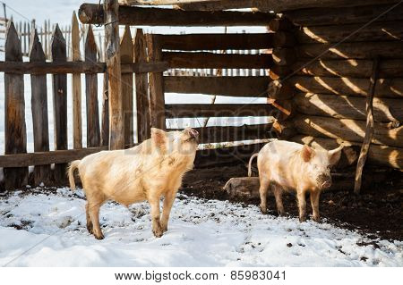 Funny pigs in a farm
