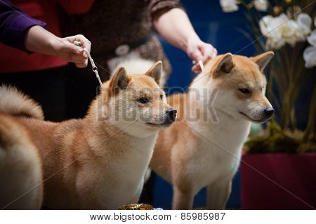 Japanese Breed Shiba Inu At The Dog Show Portrait