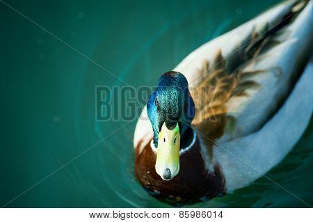Beautiful Mallard Drake With Its Distinctive Markings Swimming On Calm Blue Waters