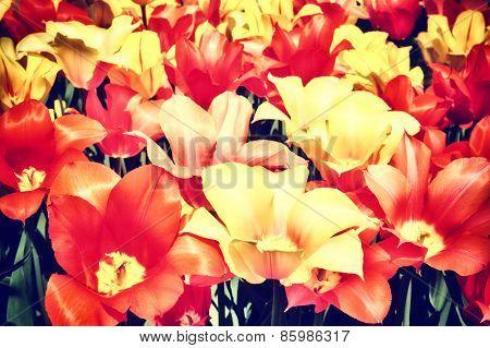 Closeup Of Multicolor Tulips