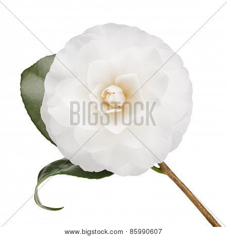 White Camellia Isolated On White