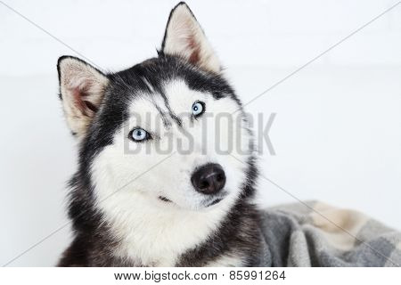 Beautiful cute husky, close up