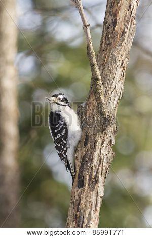 A lone woodpecker on a tree in winter