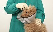 picture of poodle  - Vet examining an red toy poodle - JPG