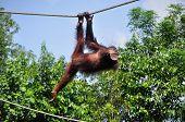 picture of swing  - Orang Utan swinging on a rope - JPG