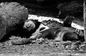 image of species  - malayun sun bear is dangerous species in forest thailand and it have black hair u - JPG