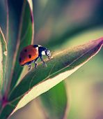 picture of ladybug  - Beautiful red ladybug close up - JPG