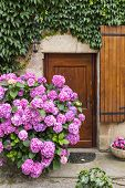 image of hydrangea  - Vivid pink hydrangeas against an ancient stone wall in a village in the South of France - JPG