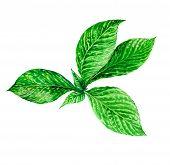 picture of mint leaf  - detailed illustration of green leaves - JPG