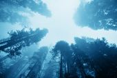 picture of sequoia-trees  - Giant tree in fog in Sequoia National Park - JPG