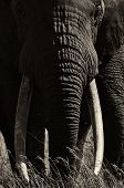 stock photo of tusks  - Large male elephant with large tusks portrait in black and white - JPG