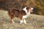 picture of australian shepherd  - Amazing beautiful australian shepherd in autumn outdoor - JPG