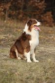 pic of australian shepherd  - Amazing beautiful australian shepherd in autumn outdoor - JPG