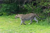 foto of leopard  - Leopard in the wild on the island of Sri Lanka - JPG