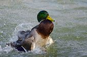 foto of male mallard  - A Cold Bath Day for the Male Mallard Duck - JPG