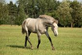 picture of colt  - Beautiful gray andalusian colt  - JPG