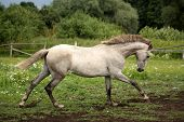 image of galloping horse  - White andalusian horse galloping at flower field