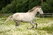 stock photo of galloping horse  - White andalusian horse galloping at flower field