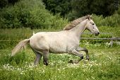 picture of galloping horse  - White andalusian horse galloping at flower field