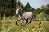 picture of galloping horse  - Young gray andalusian spanish horse galloping free and happy - JPG
