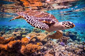 pic of under sea  - Hawksbill Turtle  - JPG