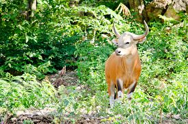 stock photo of species  - Banteng was in Red List of Threatened Species in Endangered species in nature Thailand and it looking something on the rock - JPG
