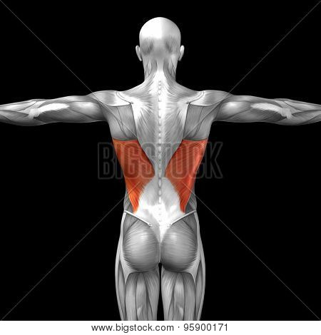 Concept or conceptual 3D back human anatomy or anatomical and muscle isolated on black background