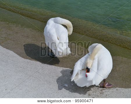 Two Mute swans at the waterside