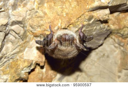 Greater mouse-eared bat ( Myotis myotis)