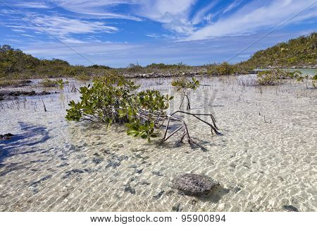 Mangroves tree in clear waters on a tropical island