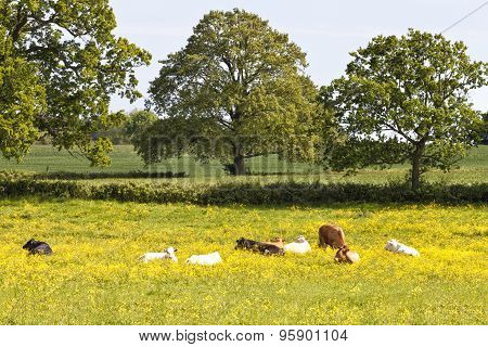 Cows grazing and resting in wild flowers meadow