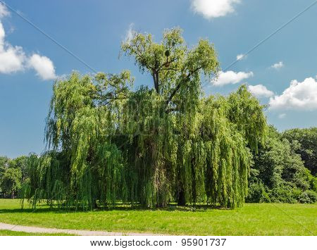 Old Willow In The Park