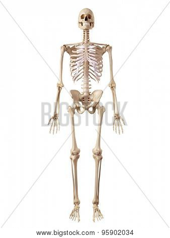 medical accurate illustration of the human skeleton