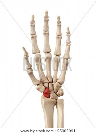 medical accurate illustration of the scaphoid bone