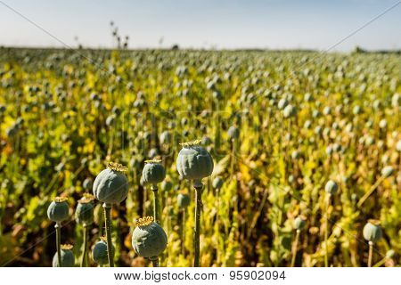 Poppy Seed Capsules In A Field From Close