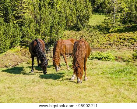 Three Horses On A Mountain Pasture