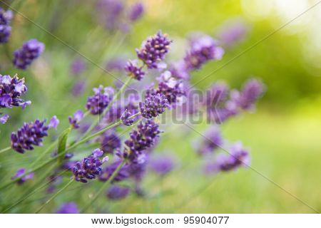 Lavender flowers, close-up.