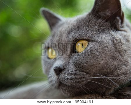 Portrait of british blue cat. Close-up.