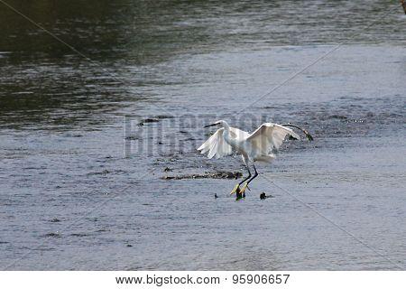 Litte Egret