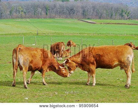 Two playing red brown cows in Switserland