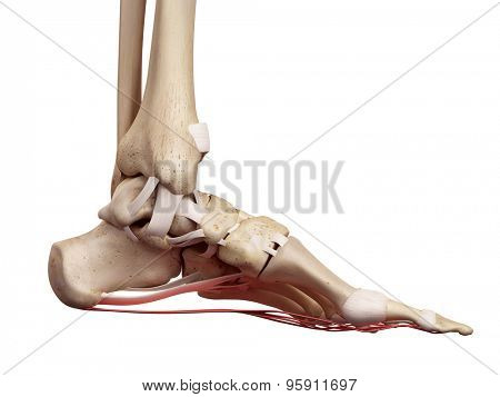 medical accurate illustration of the plantar aponeurosis ligament