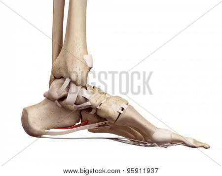 medical accurate illustration of the short plantar ligament