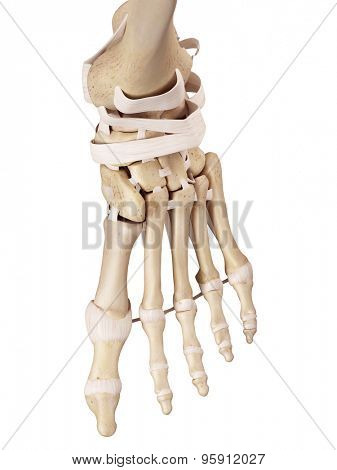 medical accurate illustration of the foot ligaments