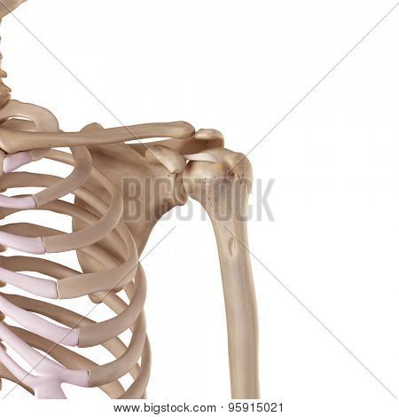 medical accurate illustration of the coracohumeral ligament