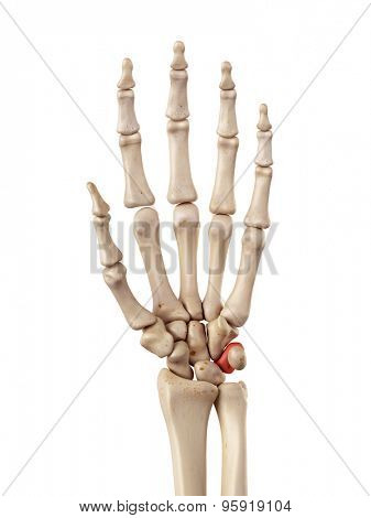 medical accurate illustration of the triquetrum bone