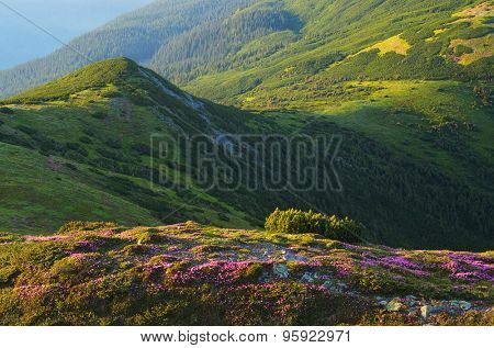 Summer landscape in the mountains. Blooming rhododendron. Green grass and mountain pine. Carpathians, Ukraine