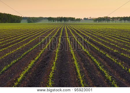 Field with rows of young corn. Morning landscape before sunrise. Beautiful orange light in the sky. Ukraine