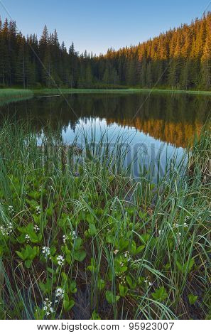 Lake in the mountain forest with flowers in the water. Morning landscape in the summer. Vertical layout. Carpathian Mountains, Ukraine